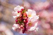 Full bloom in springtime of cherry blossom trees