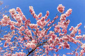 Full bloom in springtime of cherry blossom trees