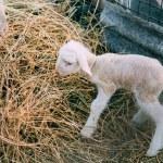 Sheep just given birth licking newborn baby lambs ...