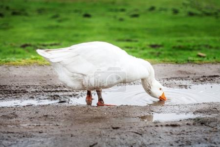 White domestic goose drinking water from puddles.