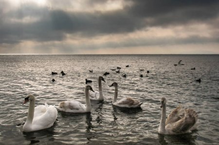 Flock of graceful wild swans
