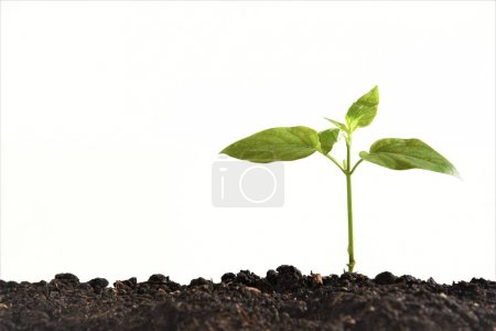 Photo for Young plant isolated white background - Royalty Free Image