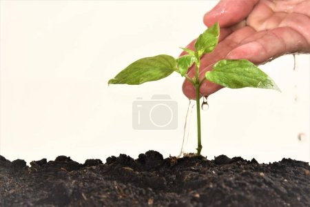 Photo for Closeup hand watering young plant isolated white background - Royalty Free Image