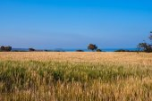 Magical landscape - golden fields on the coast Mediterranean sea