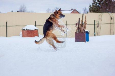 German shepherd jumping in the snow.