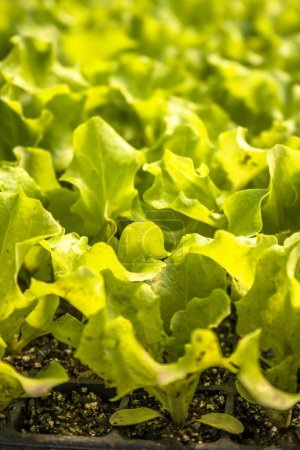 Photo for Row of young green lettuce in Brazil - Royalty Free Image