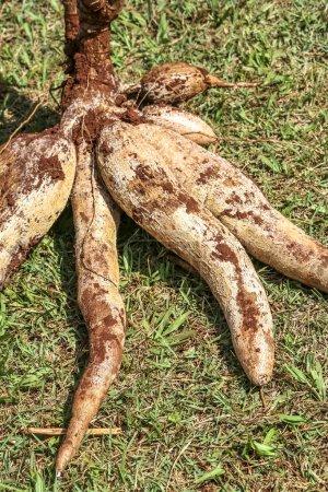 Cassava on the grass...