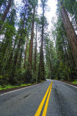 Awesome street view in the Redwood National Park - red cedar trees