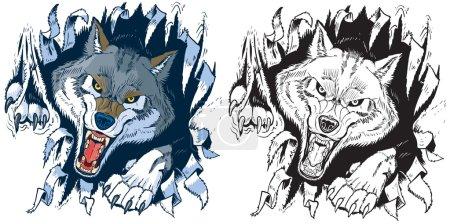 Illustration pour Jeu d'illustration vectoriel de clip art de bande dessinée d'une mascotte de loup gris ou de bois en colère déchirant, perforant ou déchirant à travers un fond de tissu ou de papier en couleur ou en noir et blanc . - image libre de droit