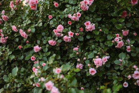 Photo pour Roses roses qui fleurit dans le jardin. Roses roses qui fleurit dans le jardin - image libre de droit