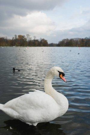 Photo pour Cygnes blancs et canards sur le lac - image libre de droit