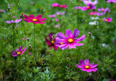 Pink and red cosmos flowers bloom beautifully