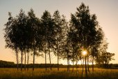 Sunset with young birches on a meadow