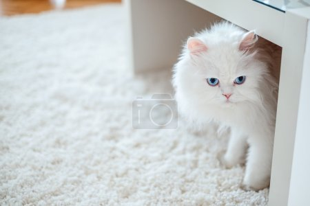 White cat under the table