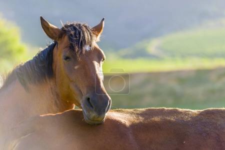 Brown Horse calf resting
