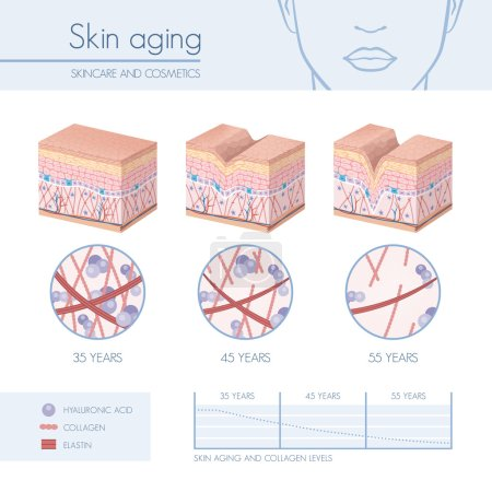 Illustration for Skin aging stages diagrams, collagen and elastin progessive decrease close up, skincare infographics - Royalty Free Image
