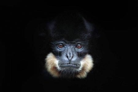 Photo pour Scène animalière de Gibbon à joues jaunes sauvages dans une forêt sombre - image libre de droit