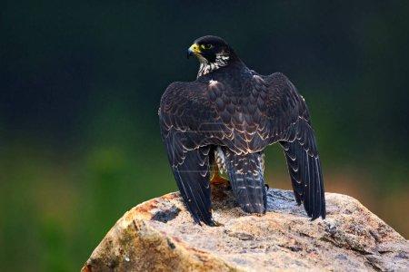 Wildlife scene with falcon