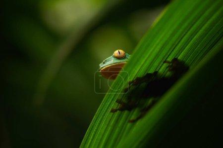 Golden-eyed leaf frog