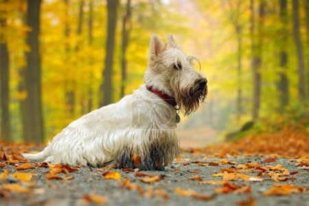 scottish terrier on road