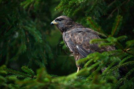 Photo pour Scène animalière avec un faucon beau et rapide dans l'arbre - image libre de droit