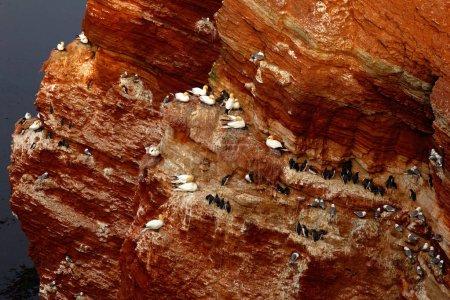 Photo pour Colonie d'oiseaux marins au fond des roches, l'île de Helgoland - image libre de droit