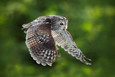 Grey owl bird in fly