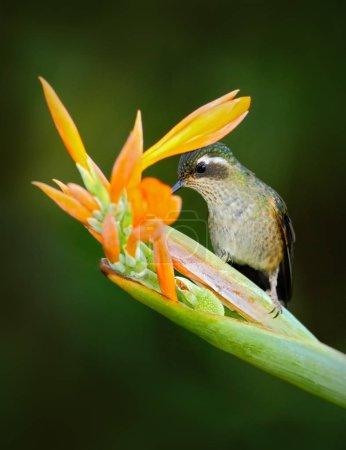 Green Hummingbird with flower
