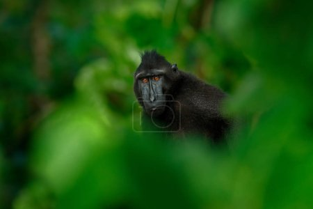 Photo for Wildlife scene of wild black monkey in forest - Royalty Free Image