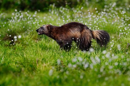 beautiful Wolverine in forest
