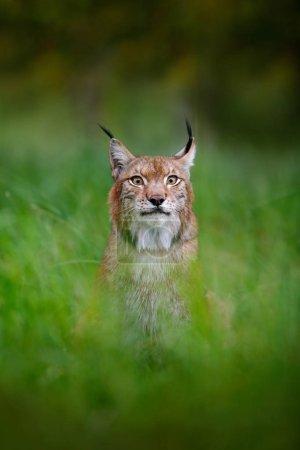 Chat sauvage Lynx dans la nature