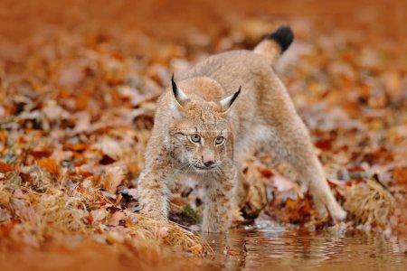 Wild cat Lynx in nature