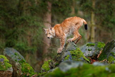 cat Lynx in forest