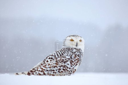 Snowy owl sitting on snow