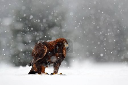 Golden Eagle sitting in snow