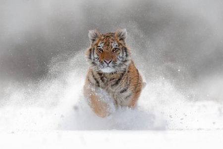 Амурский тигр бежит в снегу