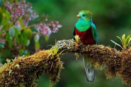 Resplendent Quetzal on mossy branch
