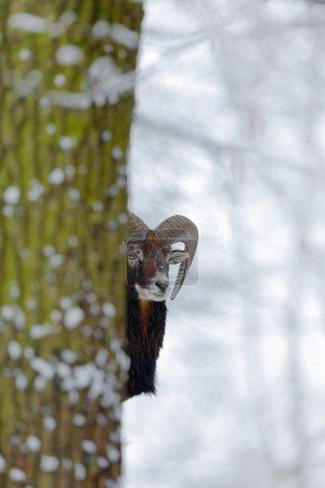 Mouflon behind tree in winter forest, Ovis orienta...