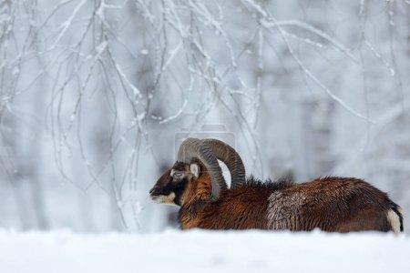 Mouflon walking in winter forest, Ovis orientalis,...