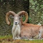 Wild sheep Urial, Ovis orientalis vignei, Ladakh, ...
