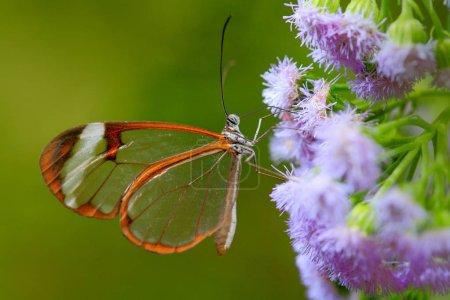 Photo pour Nero Glasswing, Greta nero sur feuilles vertes, scène de forêt tropicale, Belize - image libre de droit