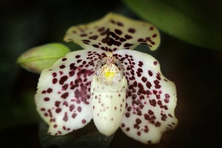 Wild orchid Paphiopedilum wenshanense