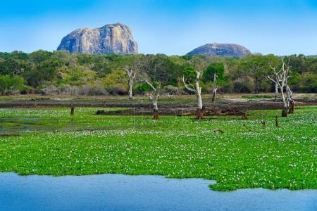 Photo pour Parc National de Yala, Sri Lanka, Asie. Beau paysage, lac avec vieux arbres et les fleurs de l'eau. Forêt au Sri Lanka, gros rocher de Pierre en arrière-plan. Un jour été dans le désert, location vacances en Asie. - image libre de droit