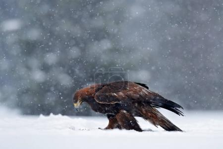 Snow winter with eagle