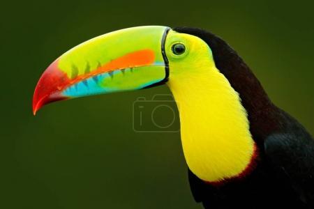 Detail portrait of toucan
