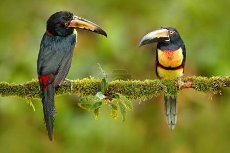 Pair of Collared Aracari birds
