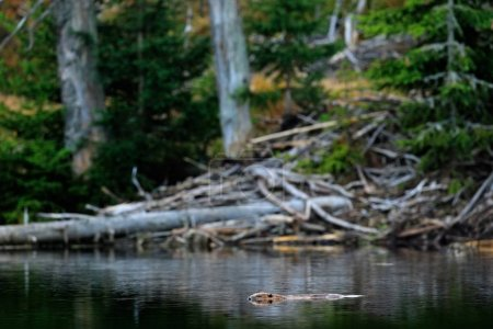 Beaver in water surface