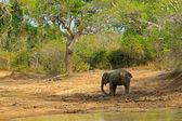 Wild Elephant in Asia