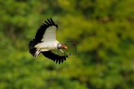 Sarcoramphus papa bird