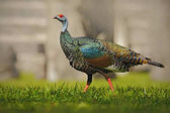 Ocellated turkey bird